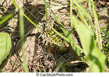 Green Frog in Grass