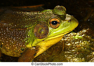 Green Frog in Illinois - Green Frog (Rana clamitans) in a ...
