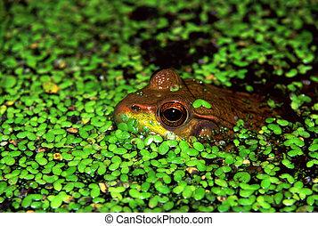 Green Frog in Illinois Wetland