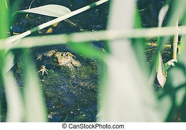 Green Frog in Marsh