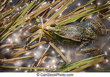 Green frog in shallow water