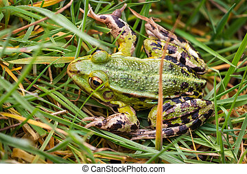 Green frog in the grass