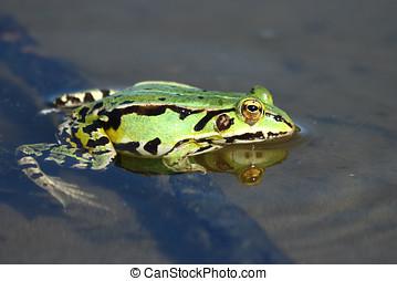 Green frog in the lake - Edible green frog (Rana esculenta...