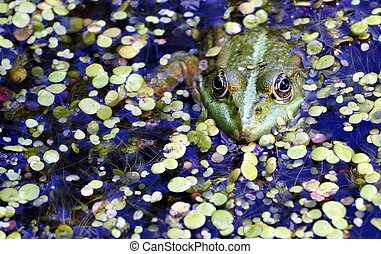 green frog in the lake, watching photographer