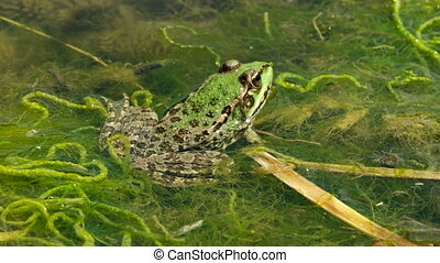 green frog in the pond