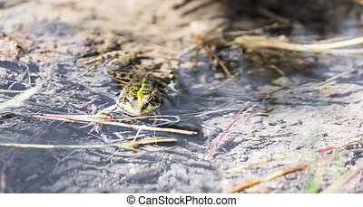 green frog in the water in nature