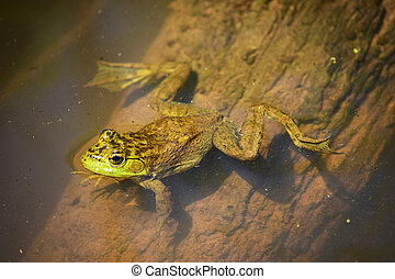 Green frog in the water, view from above
