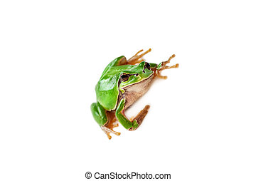 Green frog isolated on white background.