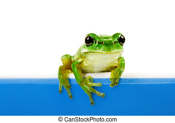 Green frog looking out of cooking pot - Green frog looking...