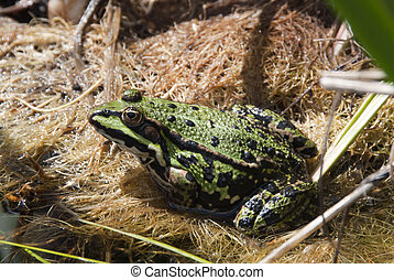 green frog macro