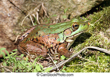 Green Frog On A Rock