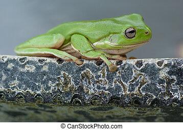 Green frog on pond