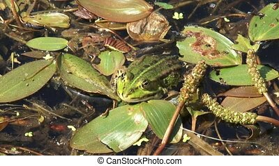 Green frog (Pelophylax) sits on aquatic plants in pool