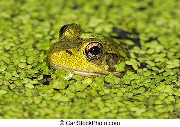 Green Frog (Rana clamitan