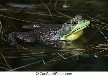 Green Frog (Rana clamitans) in a Pond