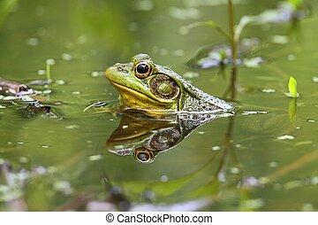 Green Frog (Rana clamitans) in a Pond with duckweed