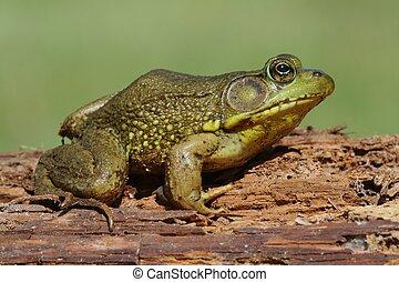 Green Frog (Rana clamitans) on a log