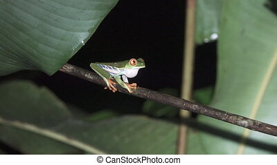 Green Frog, Red, Eyes. A tropical green frog over branch -...