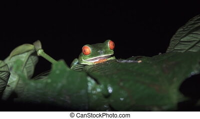 Green Frog, Red, Eyes. A tropical green frog against black -...