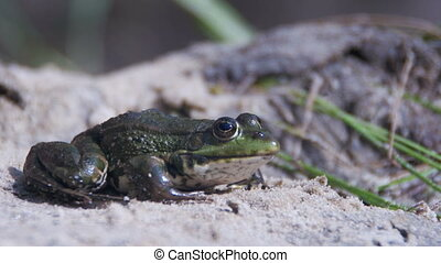 Green Frog Sits on the Shore near the River