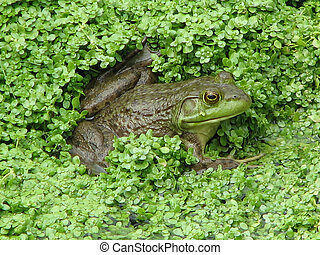 Green Frog Sitting in a Swampy Marsh