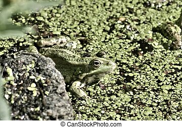 green frog sitting in the water