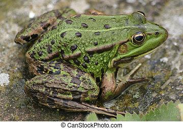 Green Frog waiting at poolside