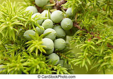Green fruit of juniper close up against needles