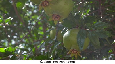 Green fruit of pomegranate tree in sunlight
