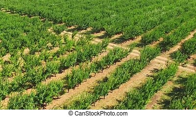 Green fruit trees on the farm - Green fruit trees sway under...