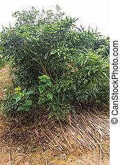 green garden pepper in Thailand