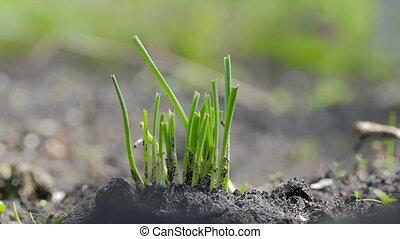green garlic in a large soil organic gardening plan