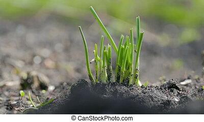 green garlic in large soil organic gardening plan