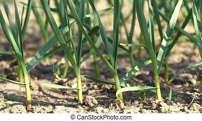 Green garlic plants in the field