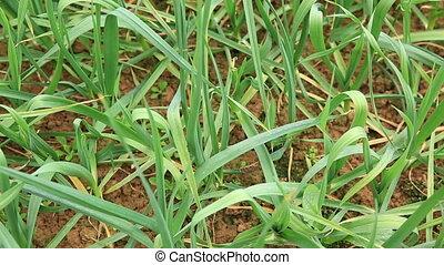 green garlic sprout in growth at vegetable garden