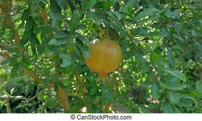 Green garnet on the tree. Fruit. 4k