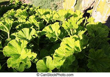 Green geranium leaves in the sun