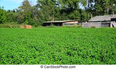 Green glade of clover in front of rural house in Russia - A...