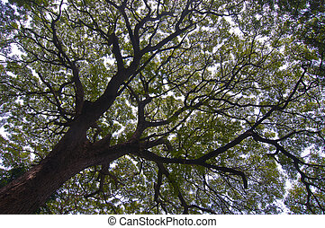 Green goddess - Large decidous tree with branches spreading...