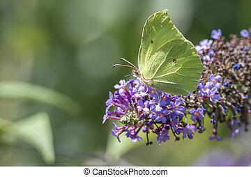 green gonepteryx rhamni butterfly