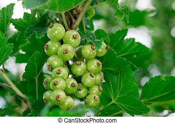 green gooseberries on the branch