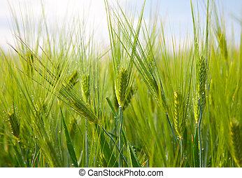 green grain in a farm field