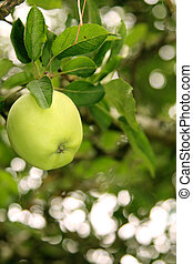 Green Granny Smith Apple on the tree reading for picking