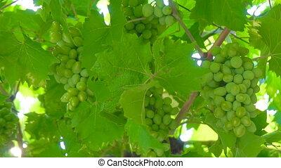 Green grape bunches growing in the garden.