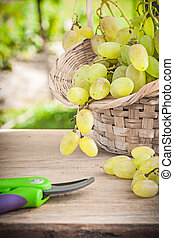 green grape in bsket and garden secateurs
