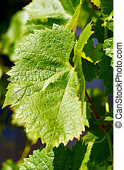Green grape leaf