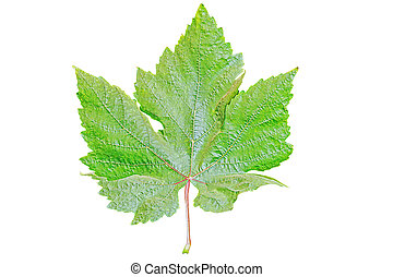 Green grape leaf.