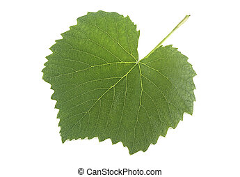 Green grape leaf isolated on a white background