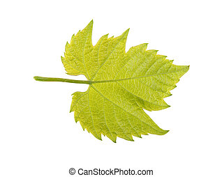 Green grape leaf on a white background, isolated.