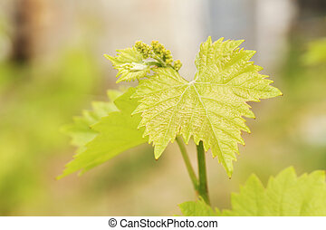 Green grape leaf outdoors